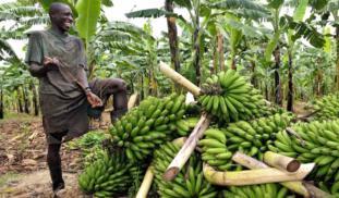 8cvvv84atlgcstx1fawj banana