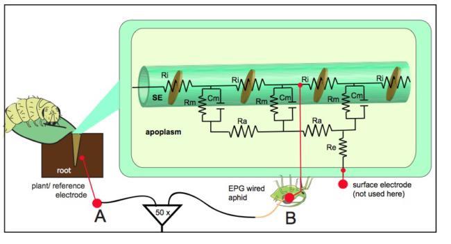 plant electrophysiology