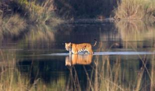 Fialzyhgtzeoar5uormo tiger