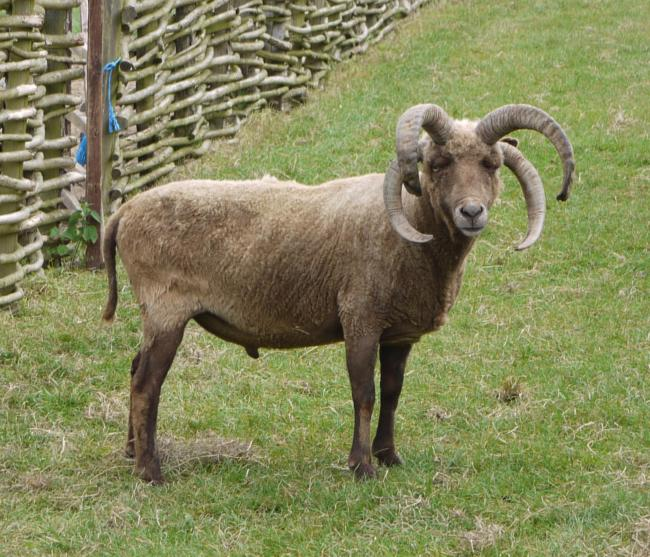 Moorit in Sheep Breeds | Experiment