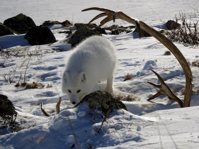 Path Across Frozen Arctic Tundra Was >> Arctic Fox And Floating Rocks Experiment
