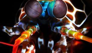 Banner mantisshrimp2