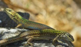 Banner wall lizards2